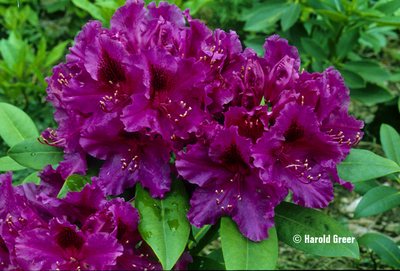 Image Rhododendron 'Dorothy Amateis'
