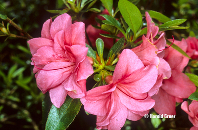 Azalea 'Early Beni'