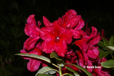 Rhododendron 'Empire Day'