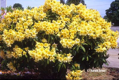 Rhododendron 'Evening Glow'