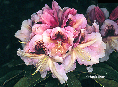 Image Rhododendron 'Extraordinaire'