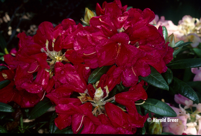 Image Rhododendron 'Fred Peste'