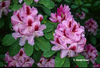 Rhododendron 'Furnival's Daughter'