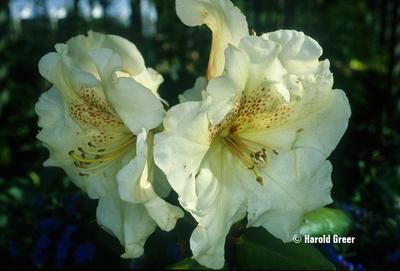 Rhododendron 'Gartendirektor Reiger'