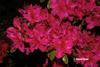Azalea 'Girard's Rose'