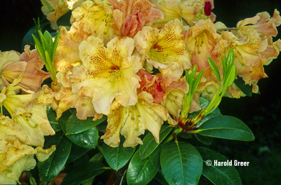 Image Rhododendron 'Goldfinger'