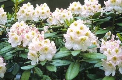 Image Rhododendron 'Gomer Waterer'