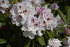 Rhododendron 'Gordon Jones'