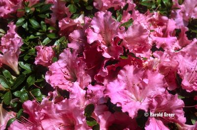 Azalea 'Gumpo Pink'