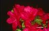 Azalea 'Hahn's Red'
