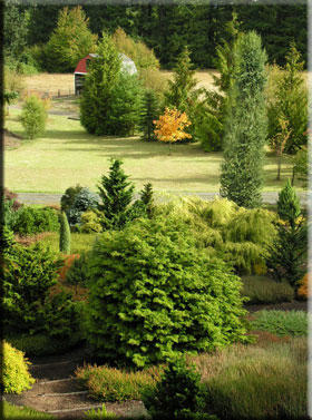 The heather-conifer garden