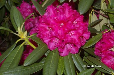 Rhododendron 'Helen Deehr'