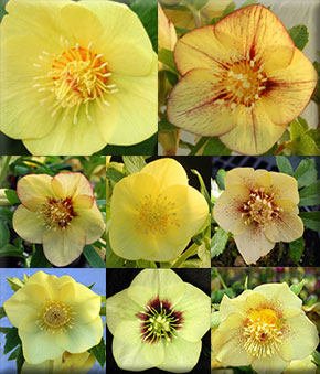 Helleborus x hybridus 'Golden Sunrise'