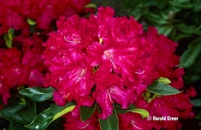 Rhododendron 'The Honorable Jean Marie de Montague'