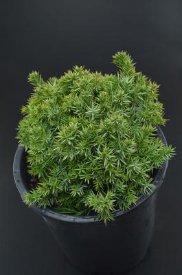 Juniperus communis 'Punnett's Hedgehog'