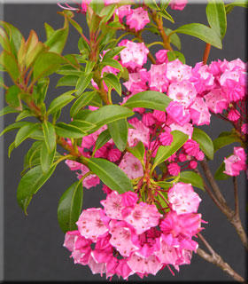 Kalmia latifolia 'Little Linda'