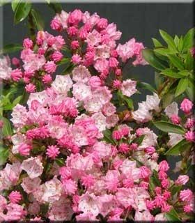Kalmia latifolia 'Tiddlywinks'