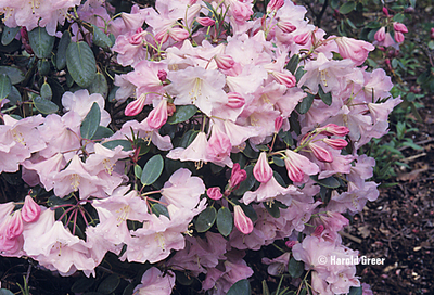 Image Rhododendron 'Kimberly'