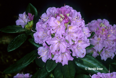 Rhododendron 'Lavender Queen'