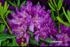 Image Rhododendron 'Lee's Dark Purple'