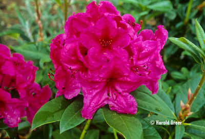 Rhododendron 'Lydia'