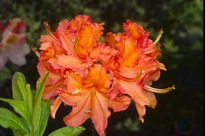 Azalea 'Mandarin Lights'