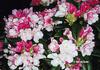 Rhododendron 'Mardi Gras'