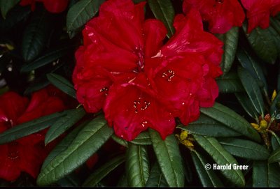 Image Rhododendron 'Maxine Childers'