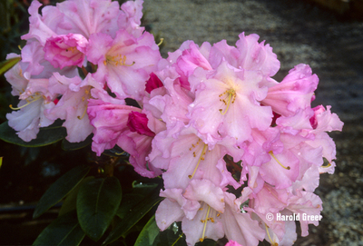 Rhododendron 'Misty Moonlight'