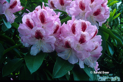 Image Rhododendron 'Mrs. Furnivall'