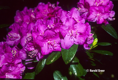Rhododendron 'PJM Compacta'