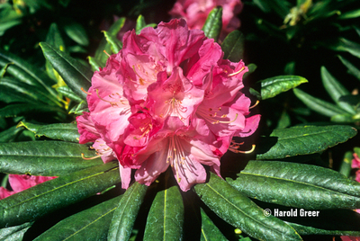 Rhododendron 'Peppermint Twist'