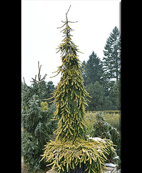 Image Picea abies 'Gold Drift'