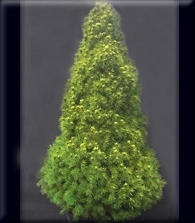 Image Picea glauca 'Gold Tip'