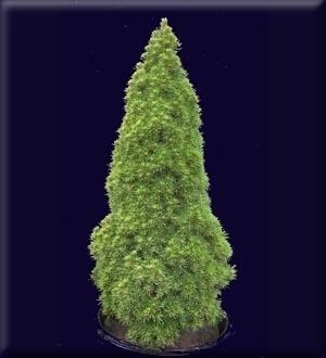 Image Picea glauca 'Pixie'