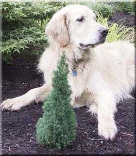 Image Picea glauca 'Laurin'