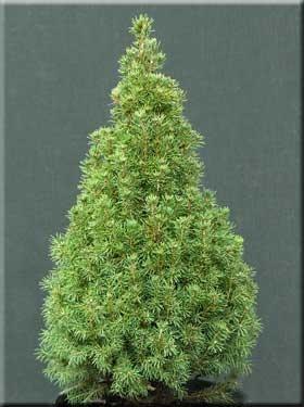 Image Picea glauca 'Sanders Fastigiata'