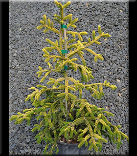 Image Picea orientalis 'Skylands'