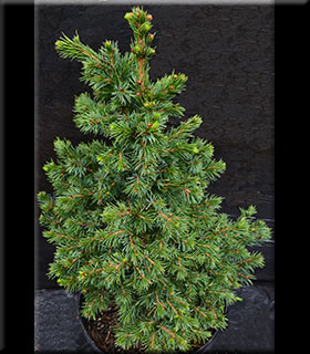 Picea omorika 'Wodan'