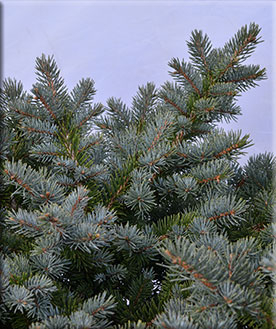 Picea pungens 'Egyptian Pyramid'
