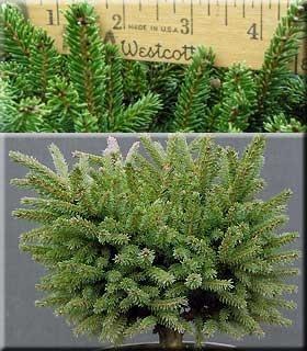 Image Picea orientalis 'Bergman's Gem'