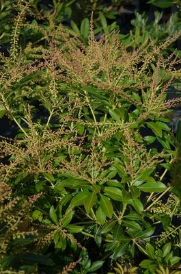 Pieris japonica 'Grayswood'