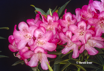 Image Rhododendron 'Pink Jeans'