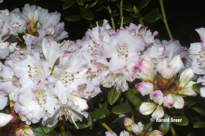 Rhododendron 'Pink Snowflakes'
