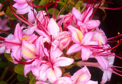 Azalea 'Pink and Sweet'