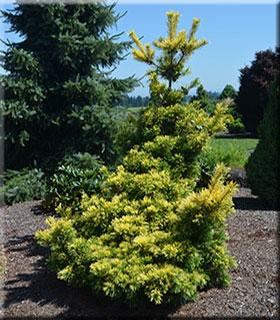 Image Pinus parviflora 'Goldylocks'