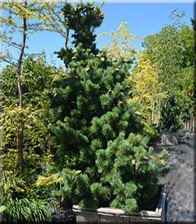 Image Pinus parviflora 'Aoi'