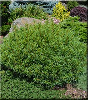 Pinus strobus 'Mini Twists'