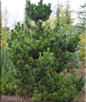 Image Pinus thunbergii 'Thunderhead'