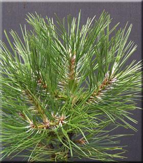 Pinus nigra 'Wurstle'
